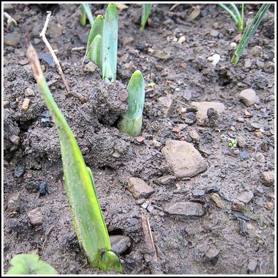 Daffodils copy