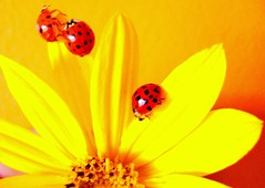 Ladybugs to Honey Pie! (zezinhaa) Tags: ladybugs ladybirds soe coccinelle chinita marienkfer mariquita nyckelpiga coccinella lieveheersbeestje themoulinrouge joaninhas tentoumushi biedronka kapoentje kalinka mariehne bubamara tentomushi ugurbocegi carochinha vaquitadesanantonio katicabogr uurbcei dwukropka mywinners abigfave bnd shieldofexcellence  godscow diamondclassphotographer lacoccinella heartawardsgroup macroawards photostosmileabout platinumheartaward goldsealofquality platinumphotography sarantontn katicabogar bra wrzecika siedmiokropka paschalitsa k mukusal physis