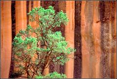 """Tree against Rockface"" (roy_mac_an_iarla) Tags: red brown tree green rock one utah nationalpark alone rockface canyonlandsnationalpark canyonlands solitary redandgreen striation blueribbonwinner canyonlandsnp verticalstripe"