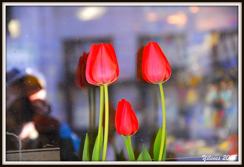 Tulips in the city, Manhattan, New York