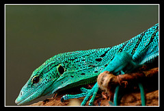 green tree monitor (Miro-Foto) Tags: portrait tree green nature reptile wildlife monitor lizard emerald firstquality specanimal flickrenvy world100f avision