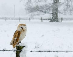Barn Owl snow scene (Mike Ashton) Tags: winter snow bird fence snowy raptor owl barbedwire barnowl birdsofprey castlecaereinion midwalesfalconry