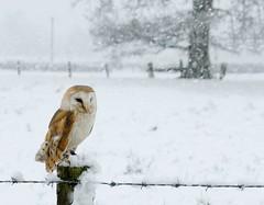 Barn Owl snow scene (Mike Ashton) Tags: winter snow bird fence snowy raptor owl barbedwire barnowl birdsofprey castlecaereinion midwalesfalconry