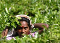 SL0087 (Family Traveller) Tags: tea plantation srilanka teapickers