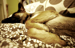 Lady Zelda (Jenna.Taylor) Tags: dog sleepy germanshepherd gsd