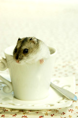 """Get a cup of """"hammy""""? (EricFlickr) Tags: pet pets cute animal animals taiwan hamster hammy 倉鼠 楓葉鼠"""
