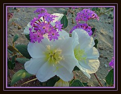Alive with blooms~ (CkH~Lovin' Life) Tags: life flowers winter arizona sand desert blooms verbena mywinners flickerenvy allkindsofbeauty