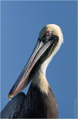 Another Pelican Portrait... (Light Your World Photography) Tags: nature beauty birding brownpelican naturesfinest canon30d pelicanusoccidentalis specanimal superbmasterpiece canon400f56