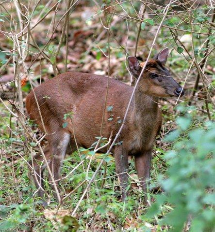 barking deer k gudi 180308