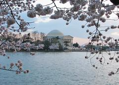 Jeffersons Monument (terren in Virginia) Tags: washingtondc spring april cherryblossom 2008