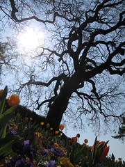 Dal basso (sabio74) Tags: parco sun tree contraluz garden lago soleil garda italia dal da tulip fiori sole terra alamo albero controluce giardino basso tulipani sigurt pianetaterra colorphotoaward tulipn