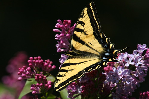 TIGER BUTTERFLY ON LILAC BUSH