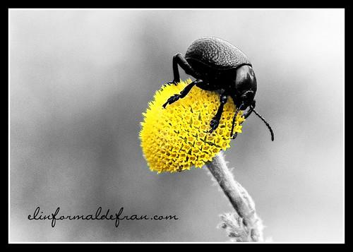 Escarabajol flor bnfin