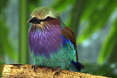 Lilac-Breasted Roller (MNesterpics) Tags: bird animal zoo washingtondc smithsonian dc districtofcolumbia aves nationalzoo 2008 zooanimal 0427 naturesfinest lilacbreastedroller 366 coraciascaudata washingtonnationalzoo smithsoniannationalzoo 2704 avianexcellence 042708 onlythebestare 3662008