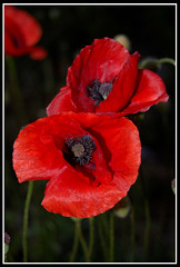 Ma Poppies (Hell♠Noir) Tags: red italy rome flower roma fleur colors ma rouge dc italia noir hell dec poppy poppies fiori rgb rosso colori elly papaveri papavero hellnoir