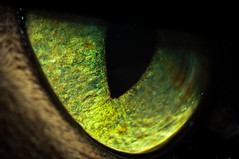 In Focus (dennis.grailich) Tags: makro macro cat cateye carlzeiss biometar 2880 iris