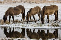 20170211-IMG_2634 (SGEOS@EARTH) Tags: schotse hooglander highland cattle scottish oerossen wildlife nature outdoor observer canon konikpaarden wilde paarden konik polish