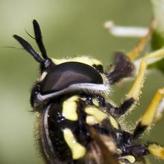 Big EYE ... (justfordream) Tags: hairy macro eye nature animal insect wasp natur mein mygarden makro insekt garten auge antenna yellowjacket tier neanderthal wespe haarig fhler