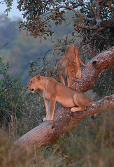 Lionesses in tree, South Luangwa