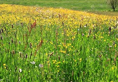 (:Linda:) Tags: germany village buttercup meadow wiese thuringia yellowflower wildflower butterblume wiesenblume wildblume sauerampfer yellowwildflower brden wildblumenwiese commonsorrel hahnenfus yellowwidlflower