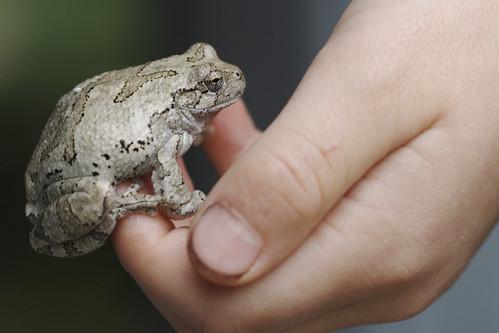Roger's Tree Frog
