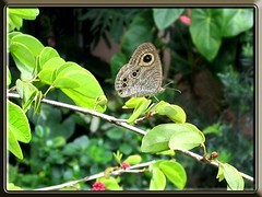 Ypthima baldus newboldi (Common 5-ring butterfly) on the leaf of Powder Puff, shot October 15, 2007