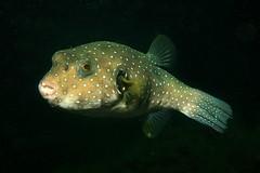 fish catalina underwater pacific scuba diving panama puffer reef stacatalina santacatalina arothron whitespotted hispidus arothronhispidus