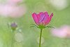 Cosmos lady (kktp_) Tags: flowers flower nature thailand nikon bravo dof bokeh bangkok cosmos excellence 70200mmf28gvr magicdonkey ดอกไม้ d80 abigfave