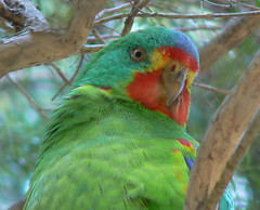 Swift Parrot (ianmichaelthomas) Tags: friends birds healesvillesanctuary parrots smorgasbord naturescall animaladdiction specanimal goldenmix wildlifeofaustralia animalcraze platinumphoto firsttheearth avianexcellence worldofanimals auselite wonderfulworldmix healesvillevictoriaaustralia swiftparrots top20vivid naturewatcher birdwatcher flickrlovers vosplusbellesphotos