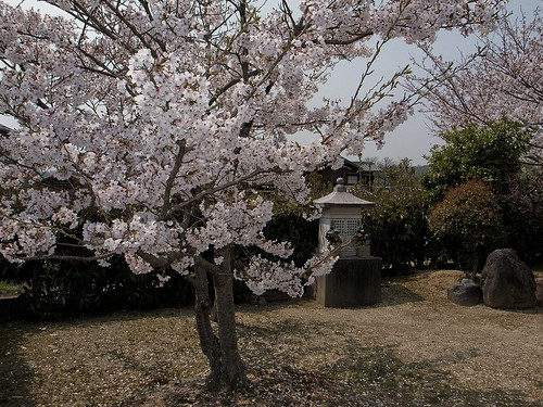 Cherry tree of a small temple