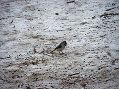 Mendon01282008-titmouse2 (barb_french) Tags: titmouse 28jan2008 mendonpondsbirdsongtrail tuftedtitmouse01282008birding