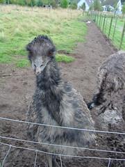 scottish highland (gmj49) Tags: birds wildlife scottish highland emu appenninosettentrionalealpinatura gmj49
