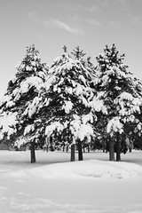 snowy trees (shutterlover) Tags: winter blackandwhite storm snowybranches