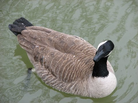 canada goose gives me that look!