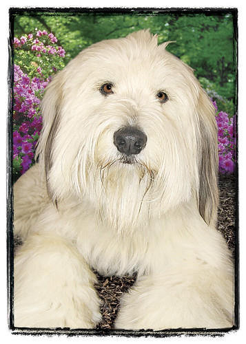"Wheaton Terrier Mix  ""Rugs"""