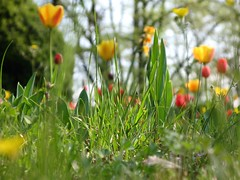 ... guardando da terra... (sabio74) Tags: red parco green grass yellow garden lago punto garda italia down occhi erba mantova tulip di vista terra giardino formica basso tulipani sigurtà