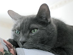 Nietzsche (Leya :P) Tags: portrait sun green face cat grey kitty greeneyes wiskers platinumheartaward 5prettykittycommentspartii