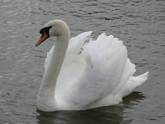 Swan (Lupus lass (is trying to leave hibernation)) Tags: white lake swan somerset burnhamonsea highbridge muteswan apexpark canonpowershota720is