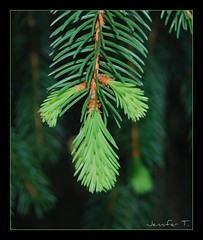 fresh starts (jent310) Tags: backyard evergreen huge ilovethistree