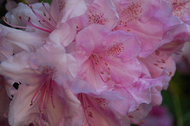 rhododendrons_cluster_pink