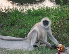 Mono de cola larga, Ranakpur (Cyberian8) Tags: india animal fauna temple monkey mono asia monkeys animaux diere jain templo  rajasthan tier  ranakpur rajastan monos djur  hayvan desanimaux  adinath hewan haiwan reinoanimal jainista  ivotinja