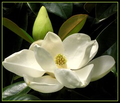 Magnolia Grandiflora (Kurlylox1) Tags: white flower tree leaves large southern evergreen magnolia sensational bud grandiflora creamy naturesfinest flowerotica goldstaraward qualitypixels