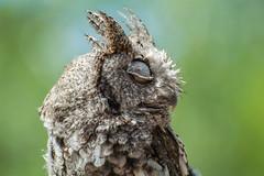 _DSC7071.jpg (David Hamments) Tags: bird summer2016 portelgin secondeyelid translucent owl macgregorpointprovincialpark ontario nictitatingmembrane n ngc
