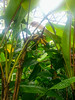 Musa acuminata (melastmohican) Tags: jungle diploid pseudostem bunch color musaceae nature flower musa flowering acuminata agriculture perennial trunk garden berry plant food evergreen flora natural leaf tree edible herbaceous green fresh fruit tropical banana