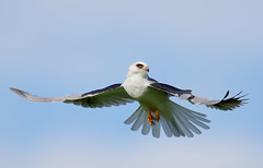 White-tailed Kite (Thy Photography) Tags: whitetailedkite fullframe california raptor birdofprey animal prey outdoor nature photography wildlife