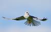White-tailed Kite (Thy Photography) Tags: whitetailedkite fullframe california raptor birdofprey animal prey outdoor nature photography wildlife