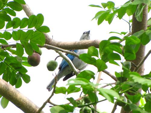 Azulejo de jardín [Blue-gray Tanager] (Thraupis episcopus) y ciruelas de huesito (Spondias purpurea L.)