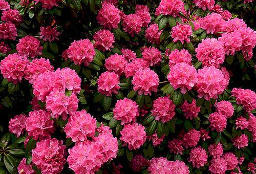 Rhododendron - East Greenwich, Rhode Island