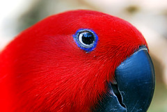 Red but Blue eye line (floridapfe) Tags: red bird eye zoo parrot everland kore supershot impressedbeauty aplusphoto avianexcellence megashot excapture southkoea