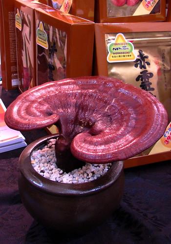 Reishi Mushroom Pictures. reishi mushroom
